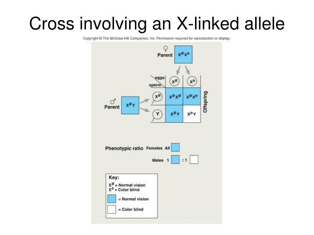 Cross involving an X-linked allele