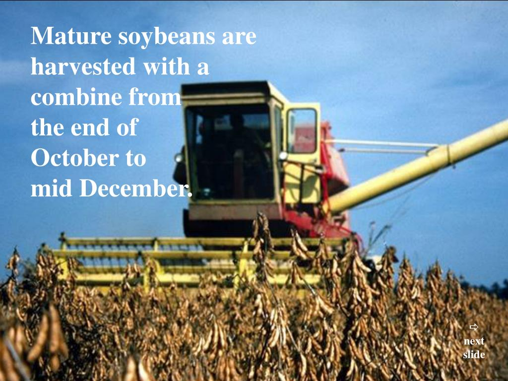 Mature soybeans are harvested with a combine from