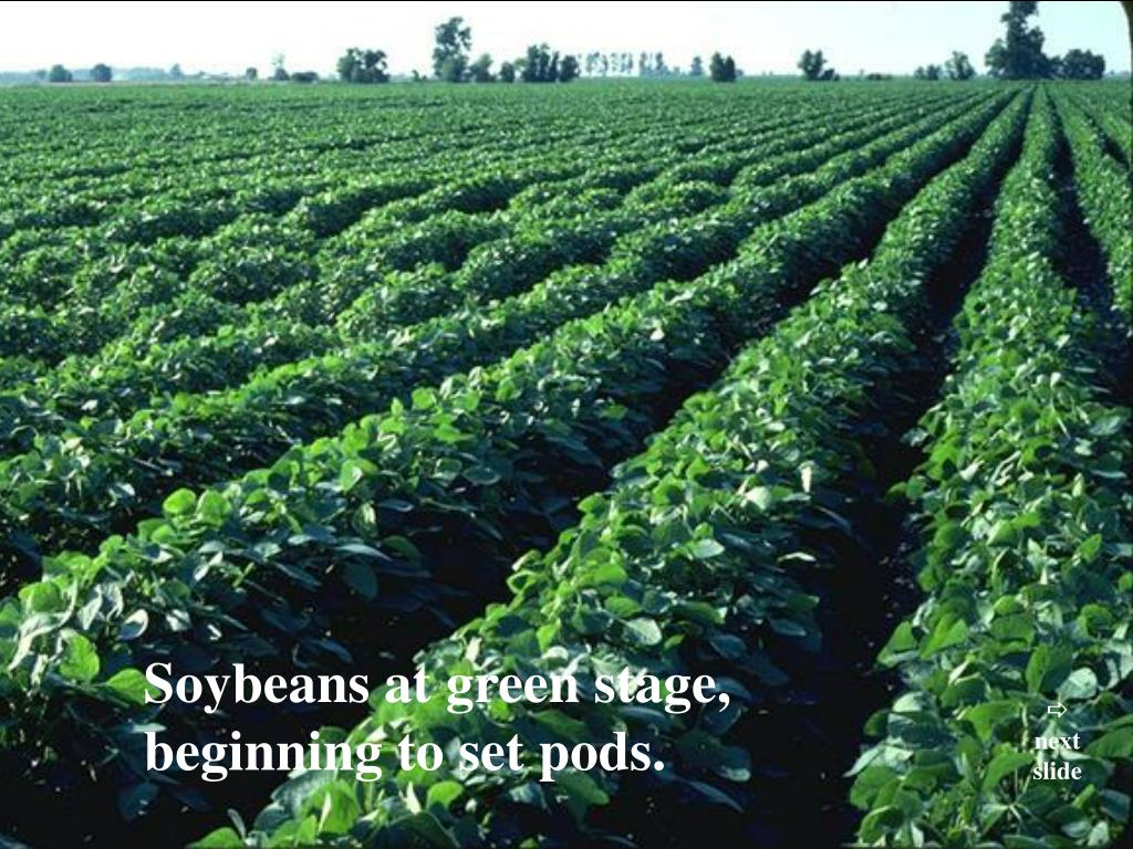 Soybeans at green stage,