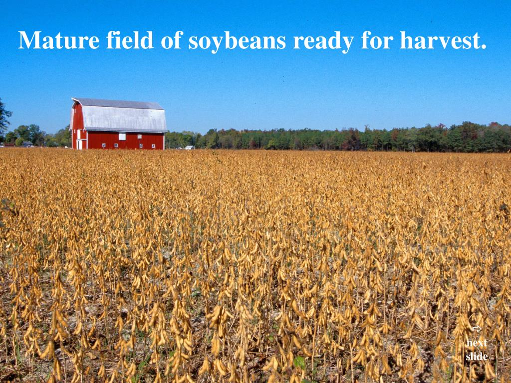 Mature field of soybeans ready for harvest.