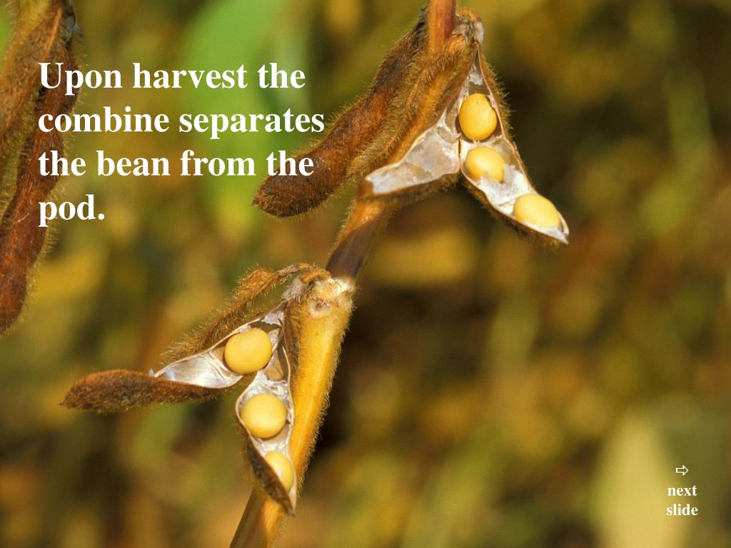 Upon harvest the combine separates the bean from the pod.
