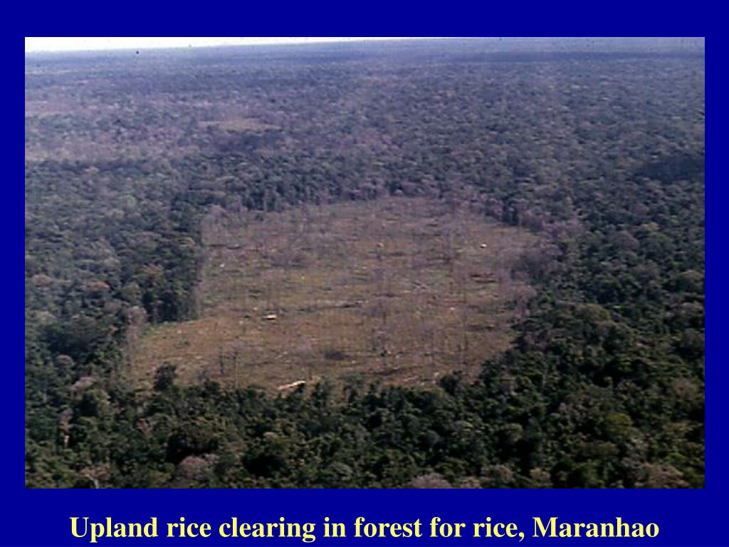 Upland rice clearing in forest for rice, Maranhao