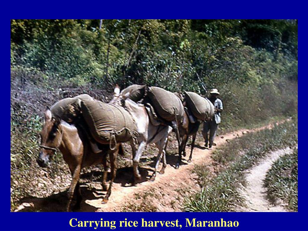 Carrying rice harvest, Maranhao