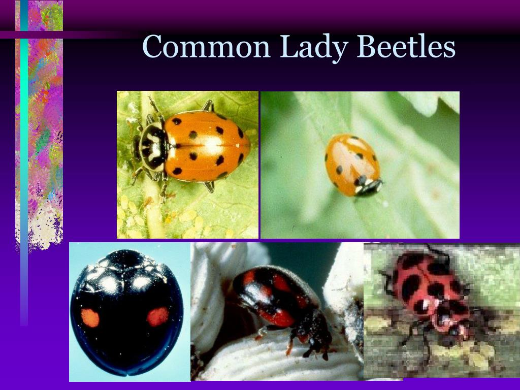 Common Lady Beetles