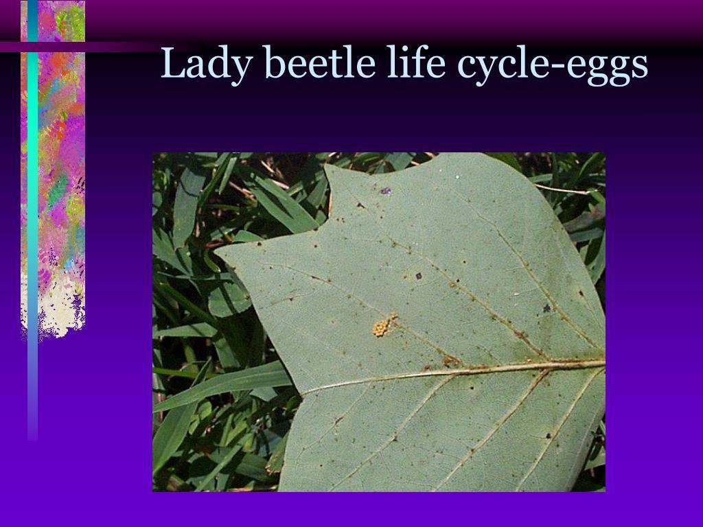Lady beetle life cycle-eggs