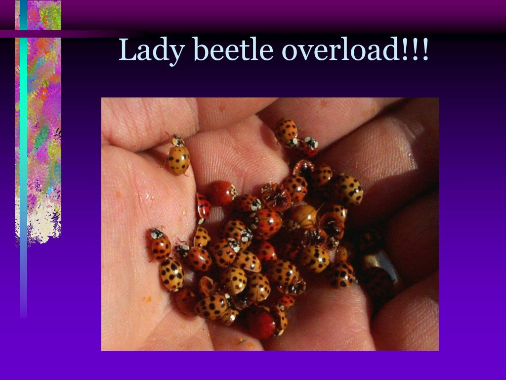 Lady beetle overload!!!