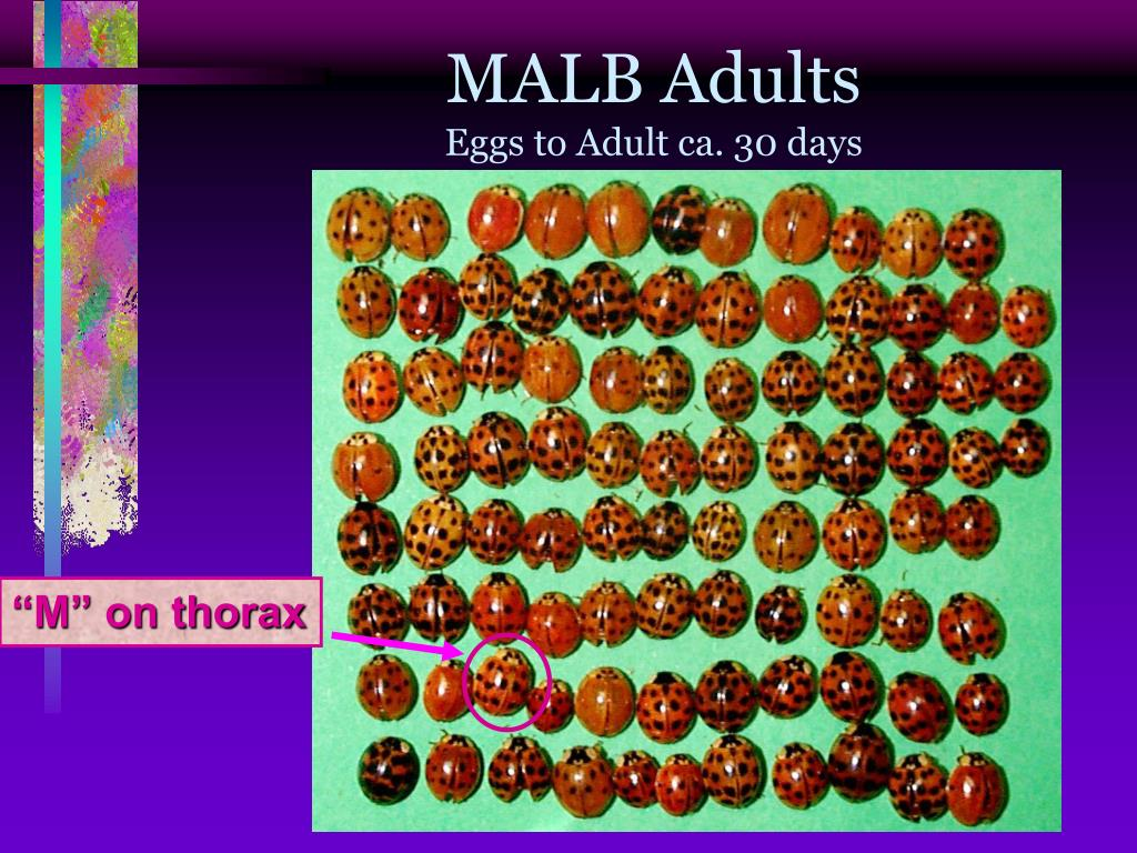 MALB Adults