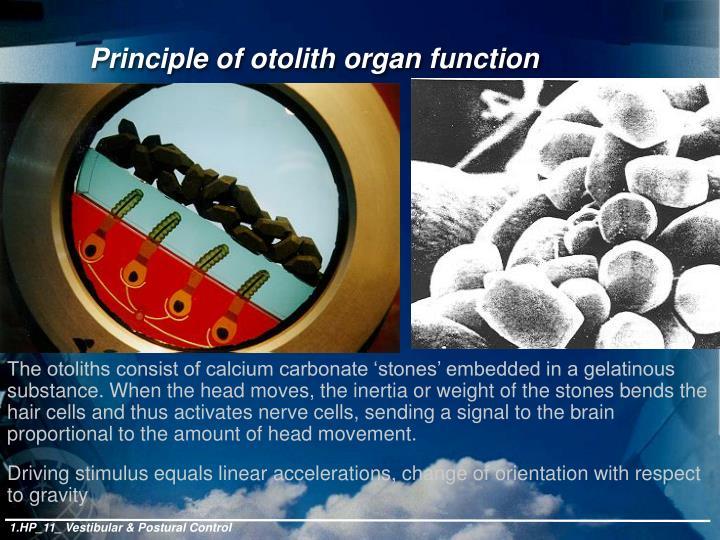 Principle of otolith organ function