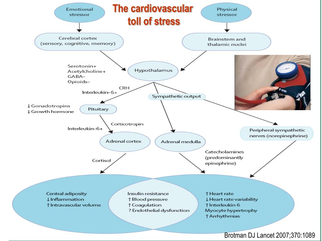 The cardiovascular