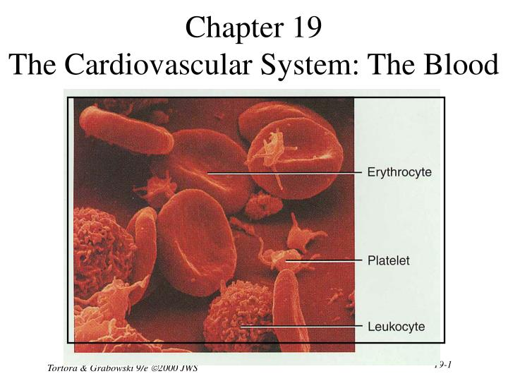 Chapter 19 the cardiovascular system the blood l.jpg