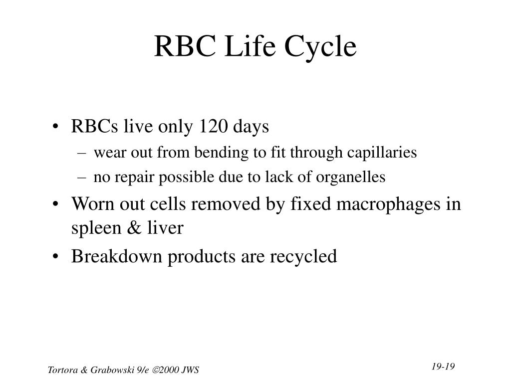 RBC Life Cycle
