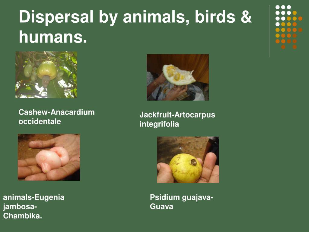 Dispersal by animals, birds & humans.