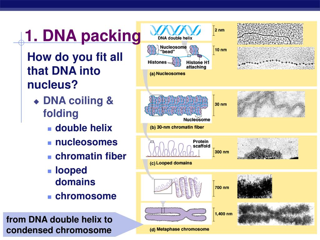 1. DNA packing