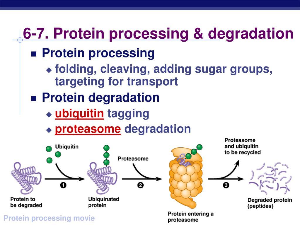 6-7. Protein processing & degradation
