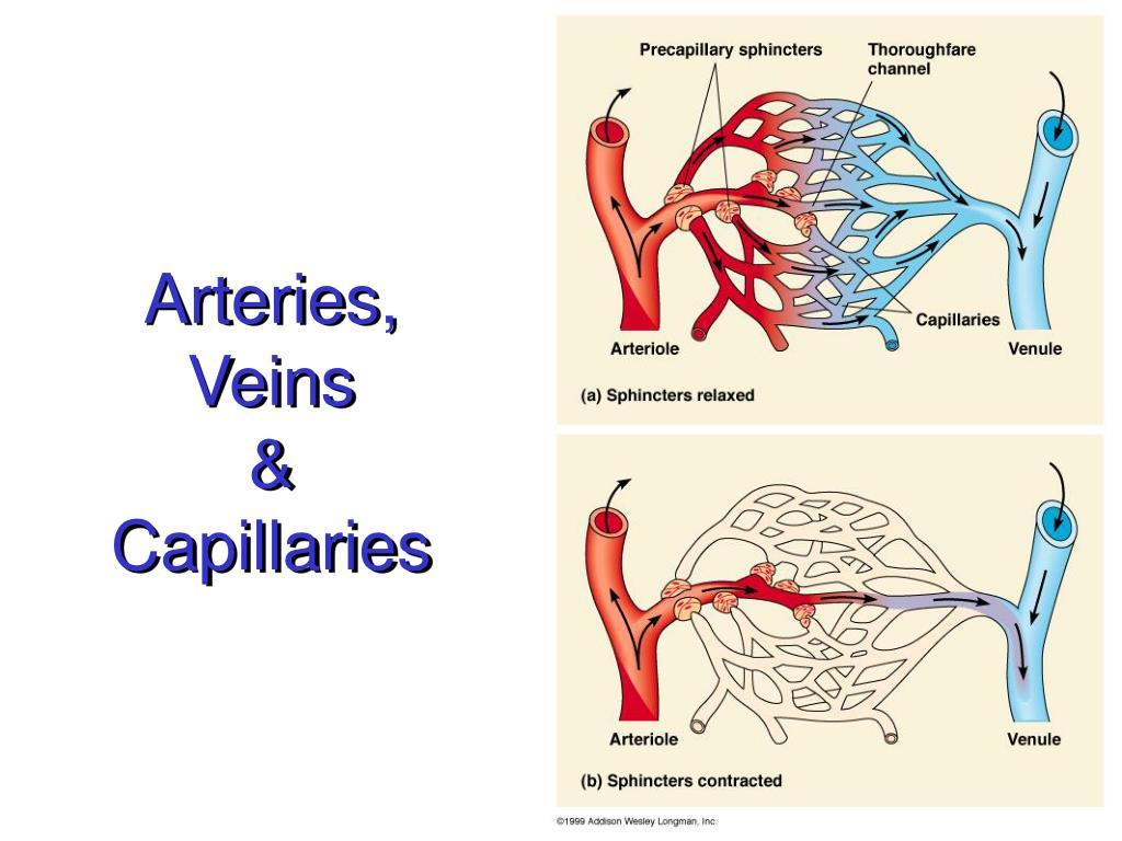 Arteries, Veins