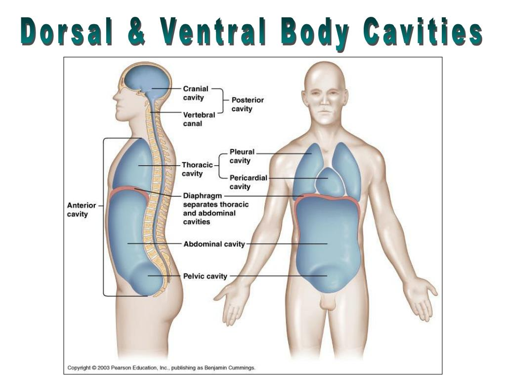 Dorsal & Ventral Body Cavities