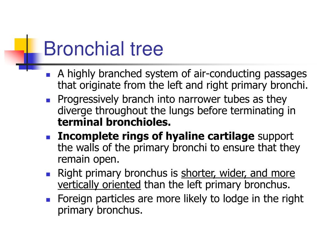 Bronchial tree