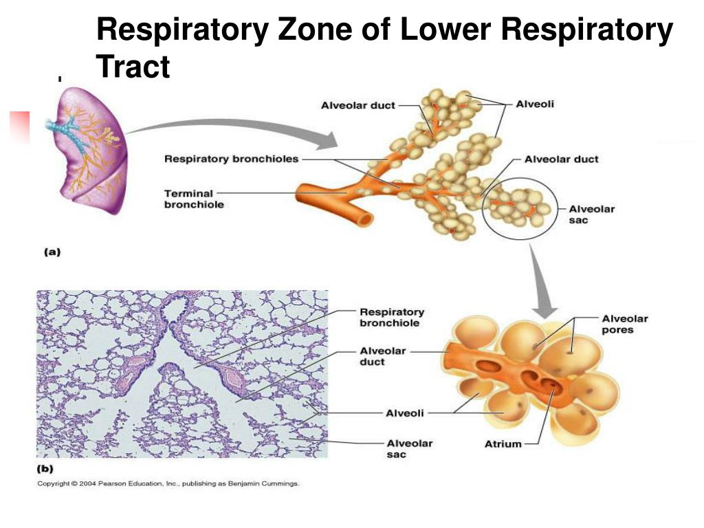 Respiratory Zone of Lower Respiratory Tract