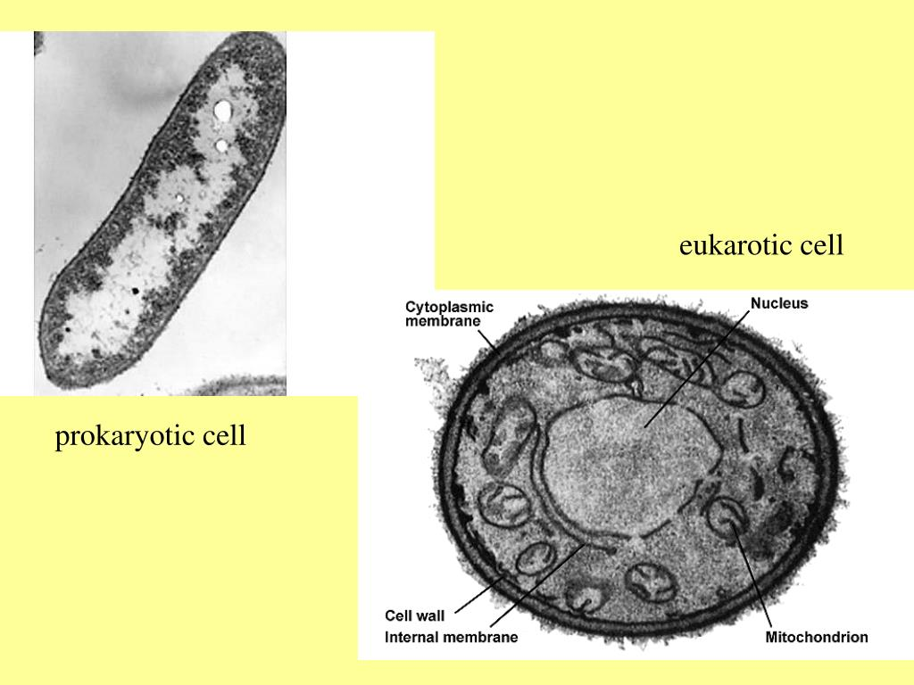 eukarotic cell
