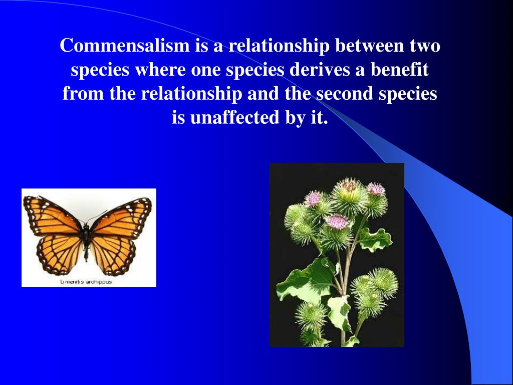 Commensalism is a relationship between two species where one species derives a benefit from the relationship and the second species is unaffected by it.