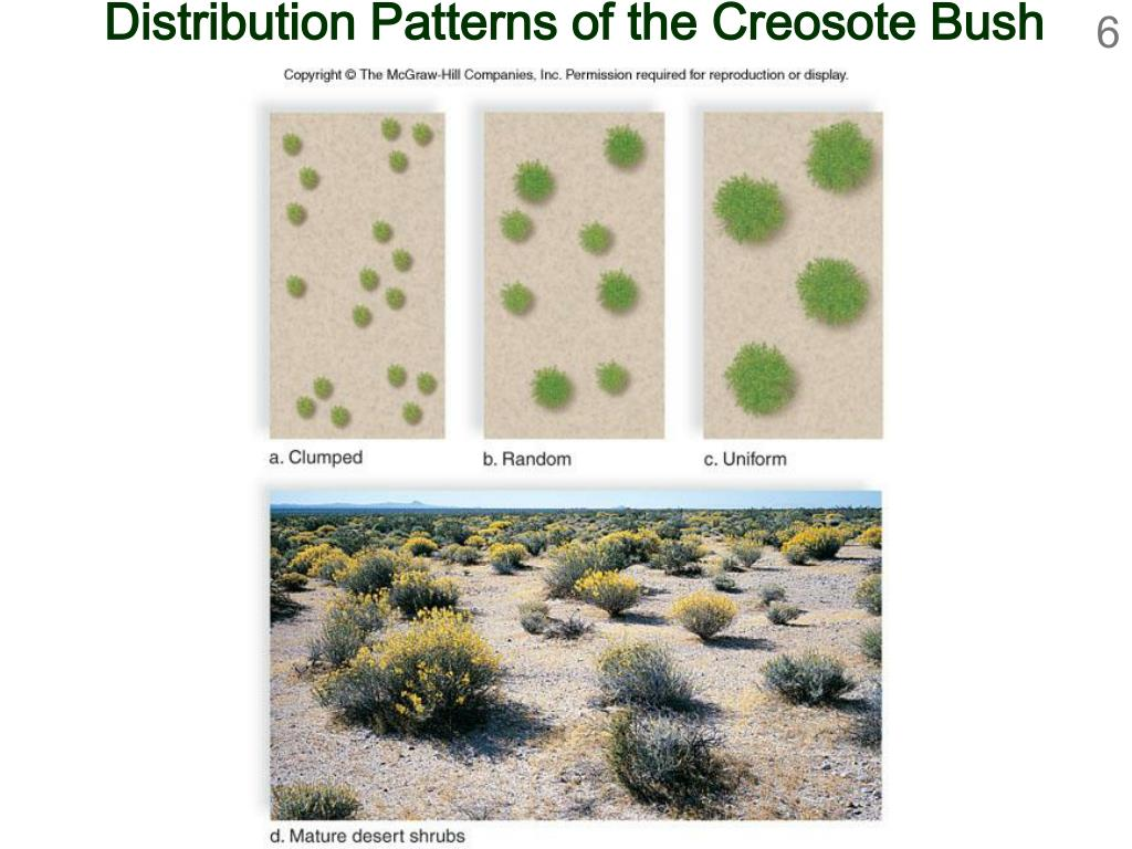 Distribution Patterns of the Creosote Bush