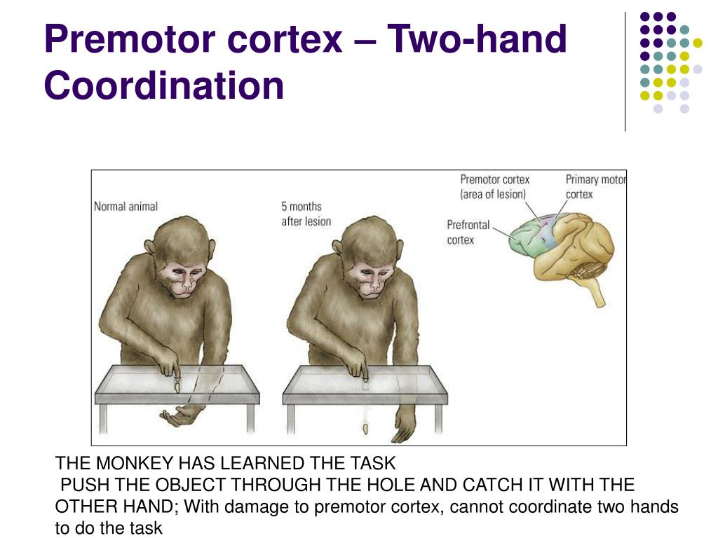 Premotor cortex – Two-hand Coordination