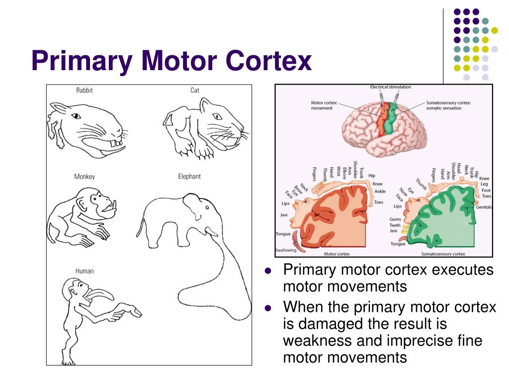 Primary motor cortex executes motor movements