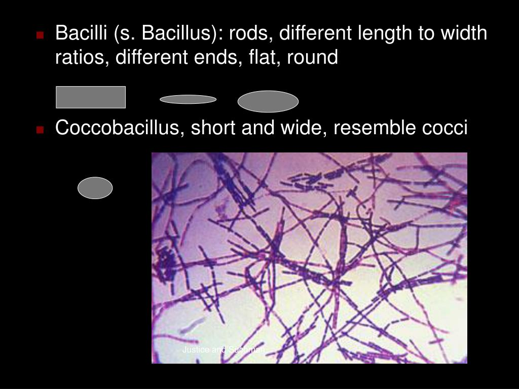 Bacilli (s. Bacillus): rods, different length to width ratios, different ends, flat, round