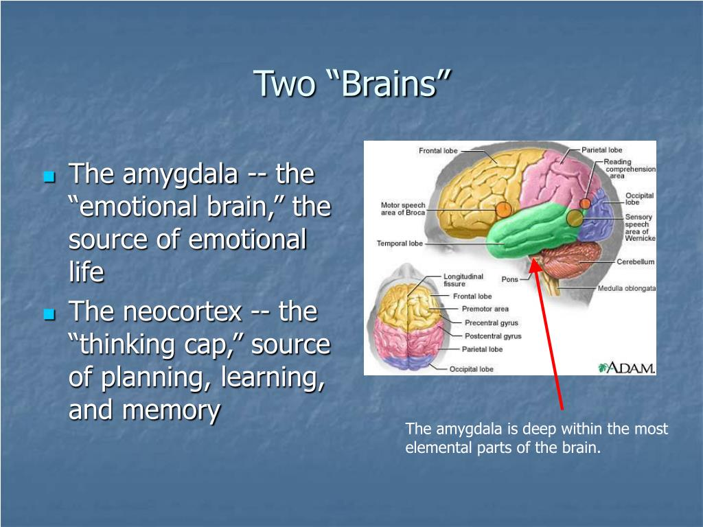 The amygdala is deep within the most