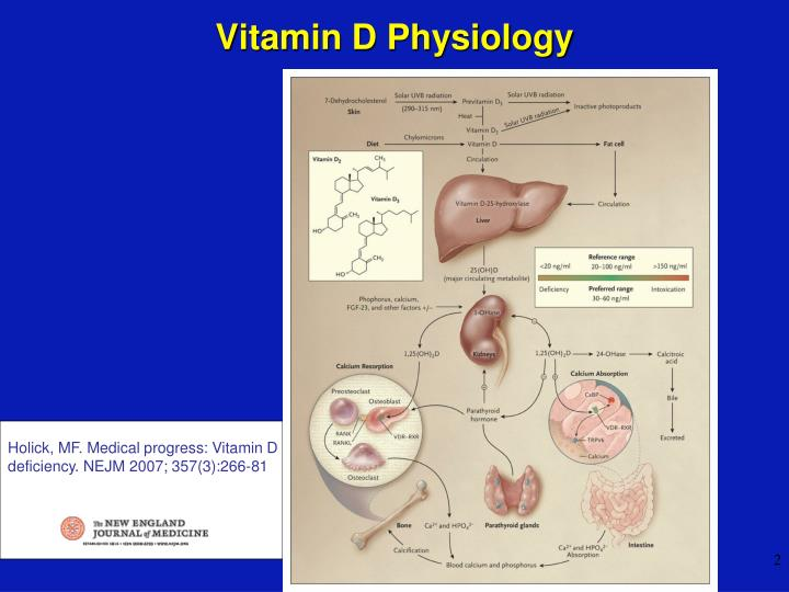 Vitamin d physiology l.jpg