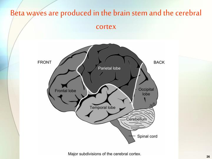 Beta waves are produced in the brain stem and the cerebral cortex