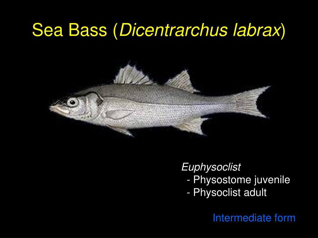 Sea Bass (