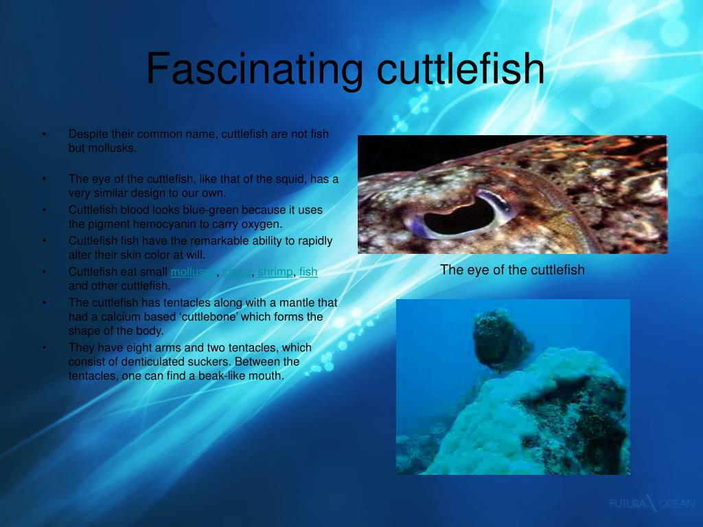 Fascinating cuttlefish