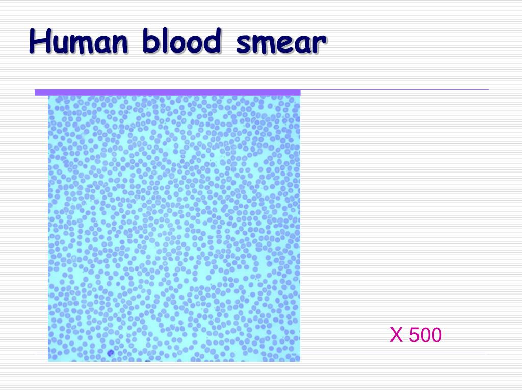 Human blood smear
