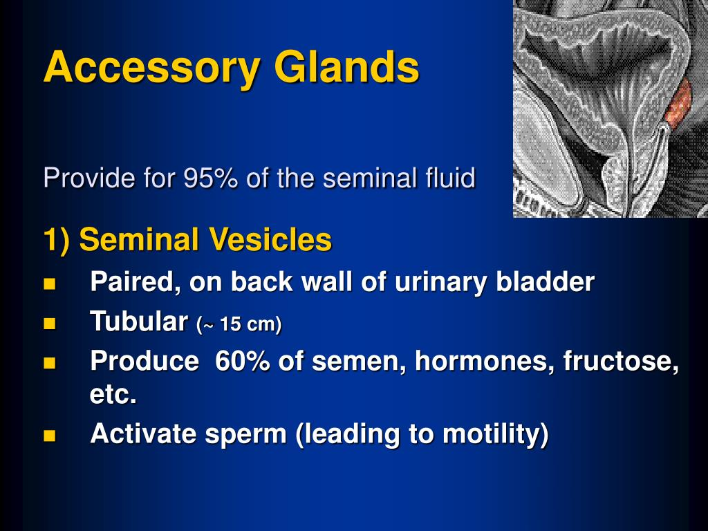 Accessory Glands