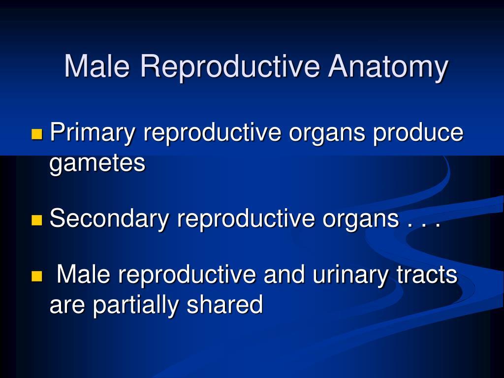 Male Reproductive Anatomy
