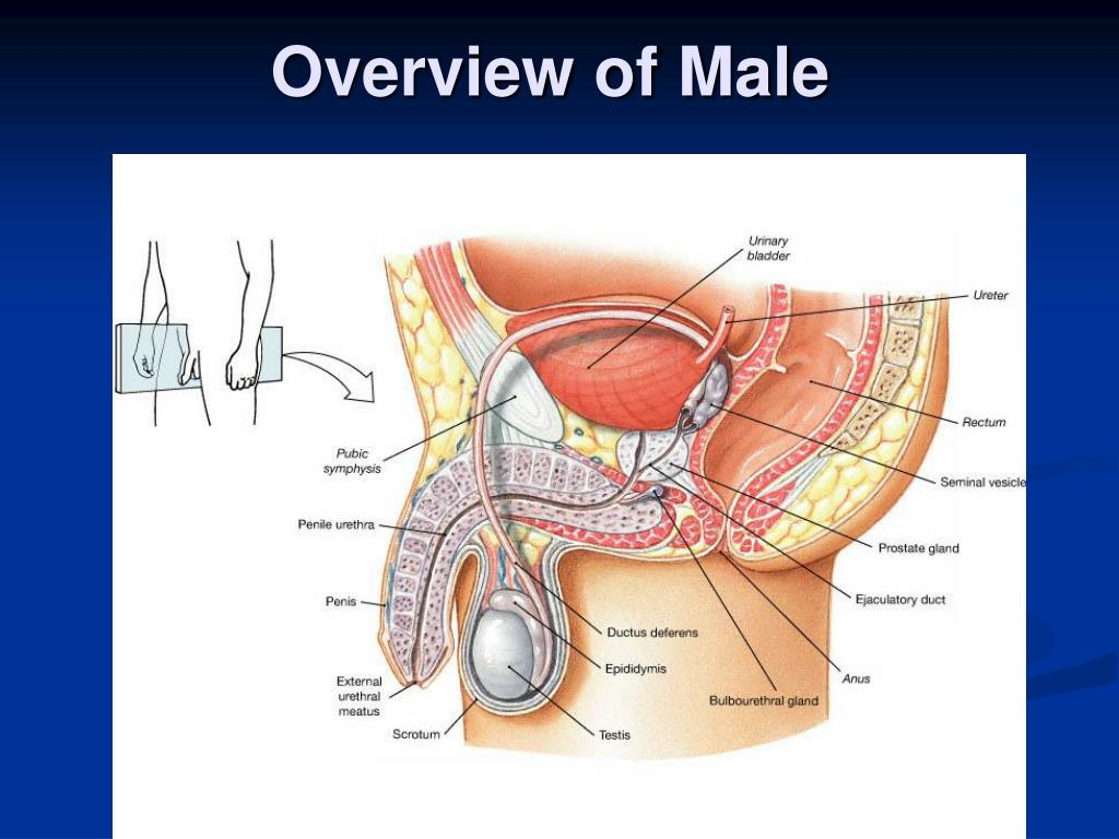 Overview of Male