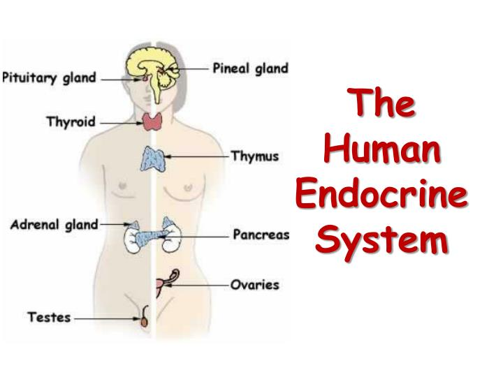 The human endocrine system l.jpg