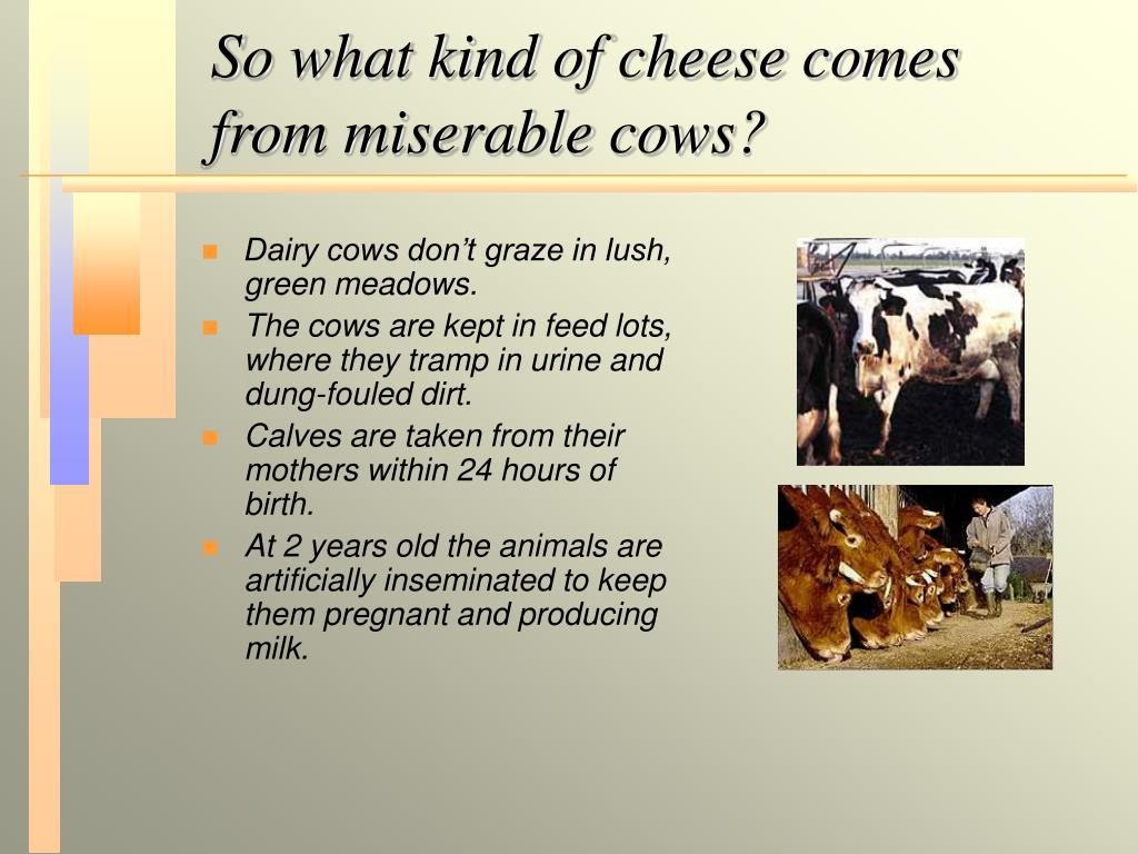 So what kind of cheese comes from miserable cows?