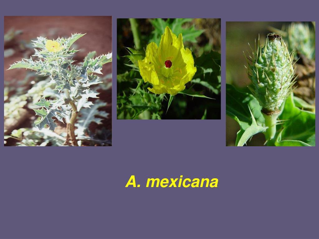 A. mexicana