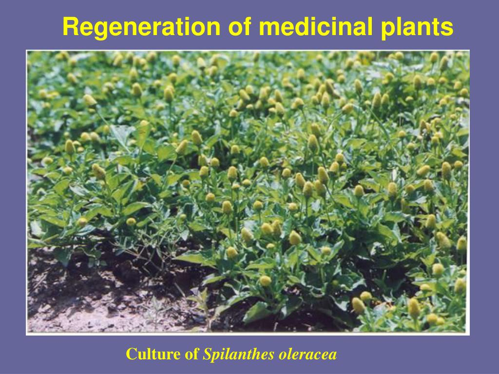 Regeneration of medicinal plants