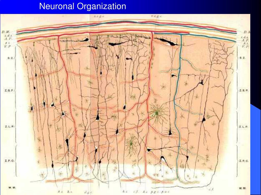 Neuronal Organization