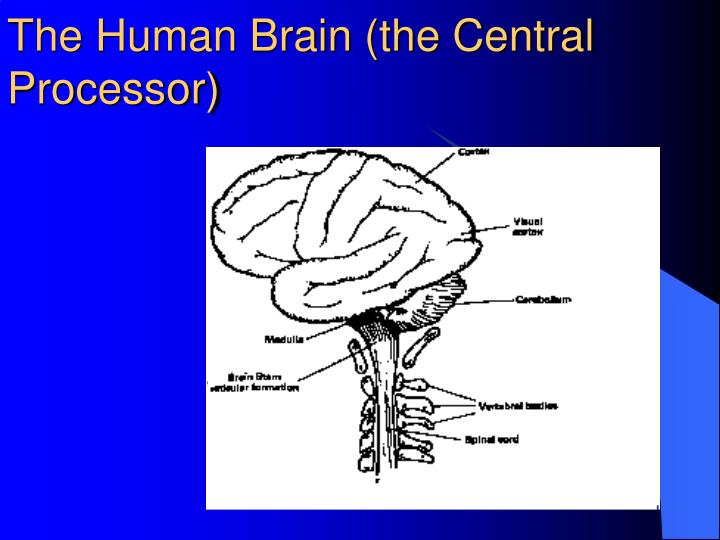 The human brain the central processor
