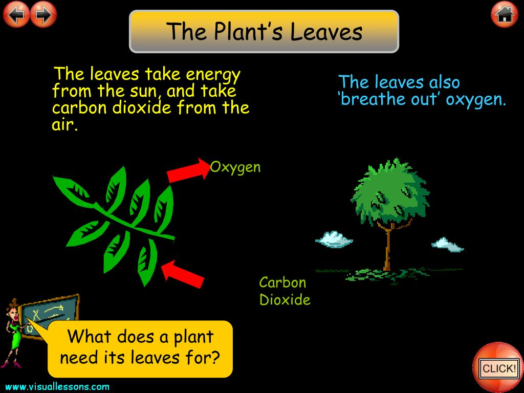 The Plant's Leaves