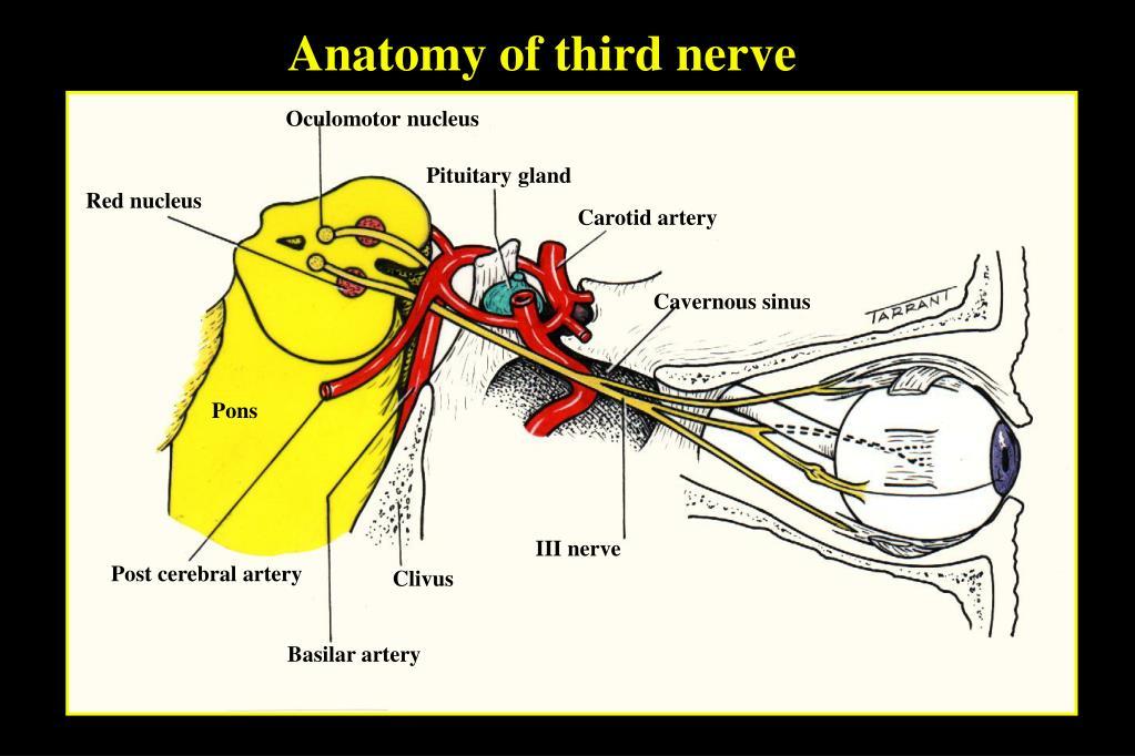 Anatomy of third nerve