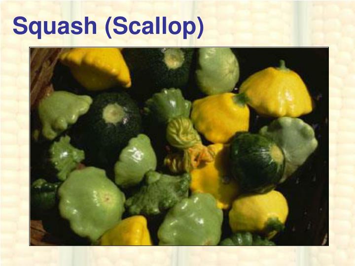 Squash (Scallop)