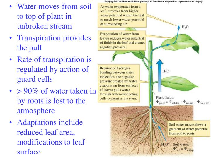 Water moves from soil to top of plant in unbroken stream