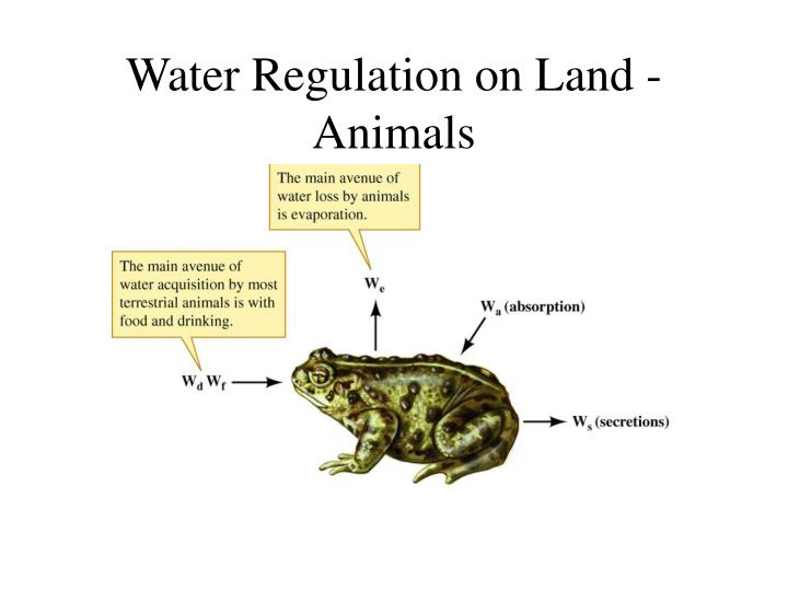 Water Regulation on Land - Animals
