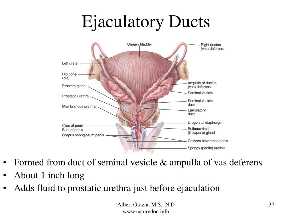 Ejaculatory Ducts