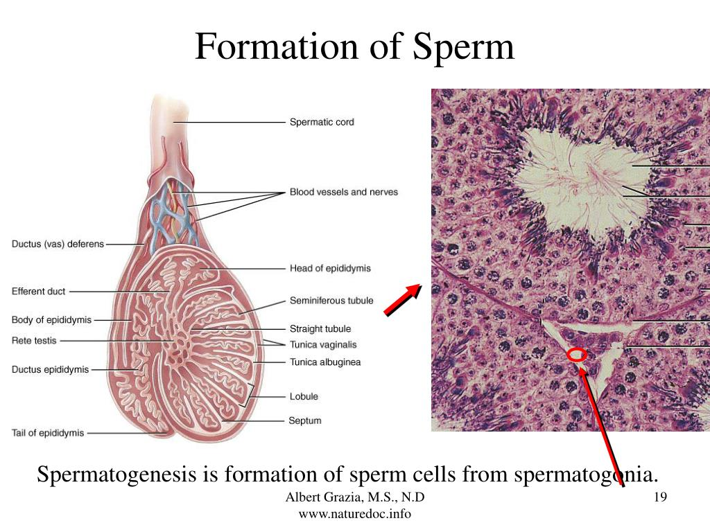 Formation of Sperm